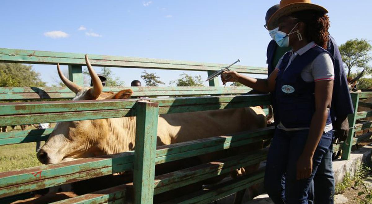 Saúde do Gado: FRESAN apoia vacinação do gado bovino no Sul de Angola