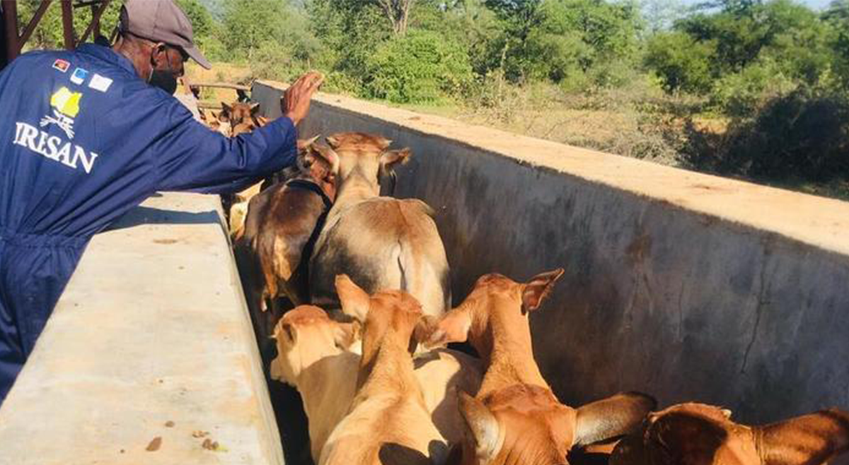 Programa da UE permite vacinar 1,4 milhões de bovinos