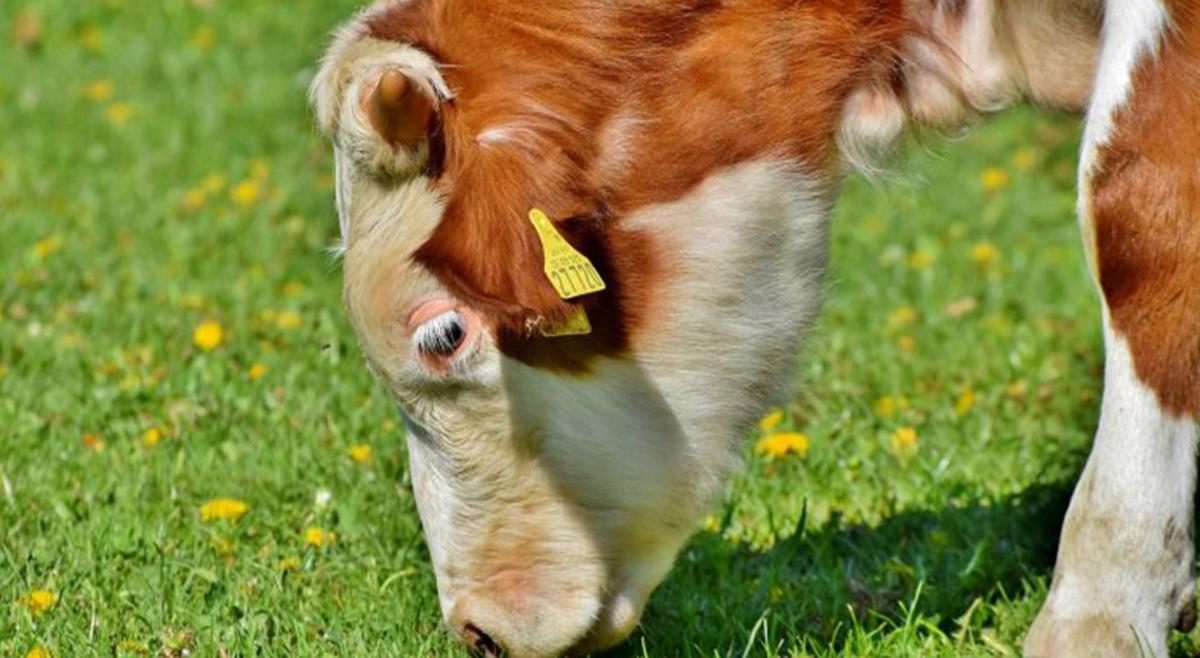 FRESAN apoia vacinação de 1.410.200 bovinos no Sul de Angola