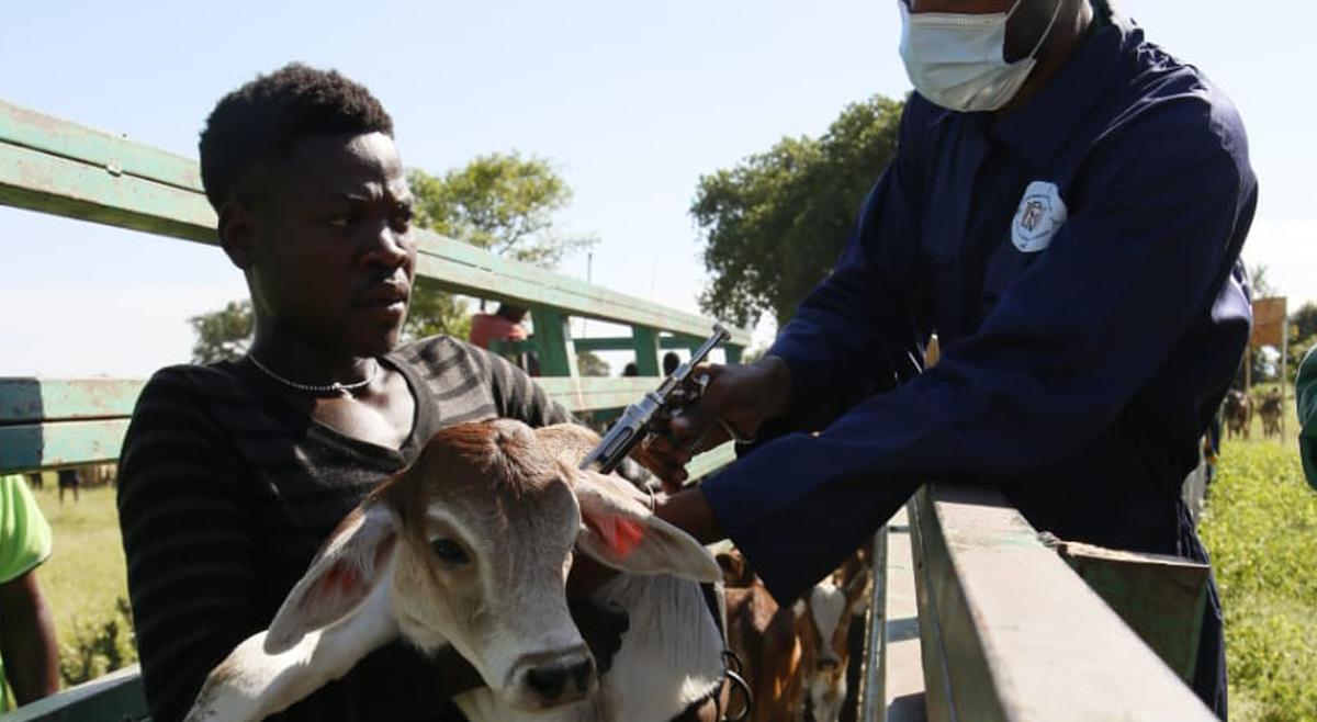 Campanha de vacinação para 1.410.200 bovinos